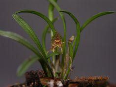 Dryadella linearifolia
