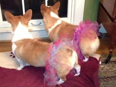 Sugar and Rascal wearing their new tutus! #animalsintutus #allaboutdance