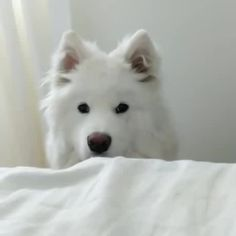 get up! - Coub - The Biggest Video Meme Platform by sergacoub Samoyed, Get Up, Good Morning, Husky, Alarm Clock, Dogs, Animals, Stand Up, Buen Dia