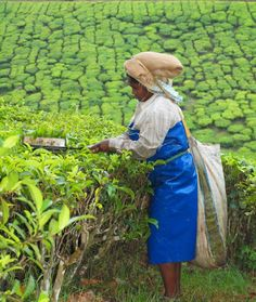 Tea Plucker- Munnar, India