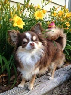 Effective Potty Training Chihuahua Consistency Is Key Ideas. Brilliant Potty Training Chihuahua Consistency Is Key Ideas. Beautiful Dogs, Animals Beautiful, Cute Animals, Baby Animals, Cute Puppies, Cute Dogs, Dogs And Puppies, Doggies, Baby Chihuahua