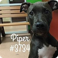American Pit Bull Terrier Mix Puppy for adoption in Alvin, Texas - Piper