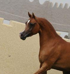 (67) arabian horse | Tumblr Beautiful