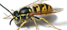 In spiritual symbolism, the hornet is a strong creature that is extremely capable in both solo and in social situations. Hornets being… Remedies For Bee Stings, Tarantula Hawk, Fire Ants, Stink Bugs, Blue Gel, Wasp, Hornet, Dog Houses, Good Times