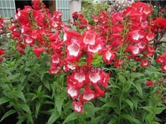 Red And White Flowers, Garden Theme, Phoenix, Canada, Google Search, Blue, Blue Garden, White Flowers