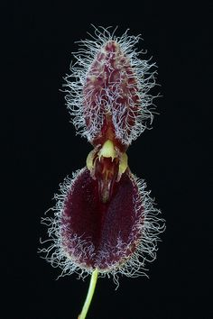 Miniature-orchid / Micro-orquidea: Pleurothallis flexuosa
