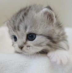 Easy Cute Baby Animals To Draw Step By Step your Cute Kittens And Puppies Gifs under Cute Anime Animals To Draw except Cute Animals Doing Funny Things Cute Kittens, Fluffy Kittens, Kittens And Puppies, Bengal Kittens, Cutest Kittens Ever, Siberian Kittens, Small Kittens, Kittens Playing, Pretty Cats
