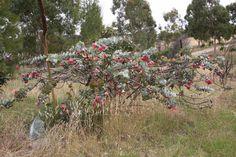 Eucalyptus rhodantha - (rose mallee) Fairy Land, Native Plants, Botany, Indoor Plants, Nativity, Garden Design, Flora, Succulents, Seeds