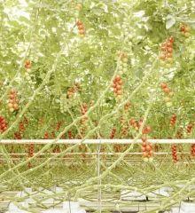 Tomato trusses in Middenmeer, the Netherlands (6) Tomatenrispen in Middenmeer, Niederlande (6)