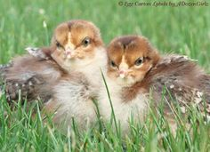 The Chicken Chick®: My Favorite Photos of Baby Chicks