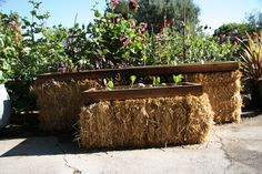 Straw bale raised beds: this is my third year using my original bales!  I grew lettuce all winter and now I planting for the spring/summer!