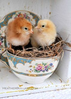 Baby chicks in a tea cup nest. I would photo shop this into a vintage style photo and collage it into a board with other vintage ephemera for a cute Easter holiday decoration.