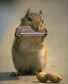 Squirrel playing harmonica