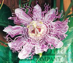 Passionflower vine, I want for my garden. Hardy for zones 5-9, It should grow for me.
