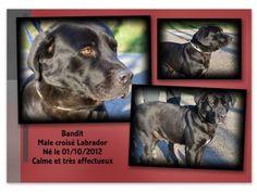 BANDIT   Type : Labrador Sexe : Mâle Age : Adulte Couleur : Noir  Taille : Grand Lieu : Vaucluse - 84 (Provence-Alpes-Côte d'Azur)  Refuge :  Refuge de l'Espérance SOS Animaux(Vaucluse) Orange Tél : 04 90 34 56 37                 né en octobre 2012