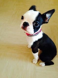 I want a Boston! Boston Terriers, Love Pet, Puppy Love, Expensive Dogs, Crazy Dog Lady, Cute Funny Dogs, Dog Rules, Yorkie, Best Dogs