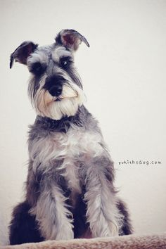 My Gentleman by Melissa Heard #Miniature #Schnauzer