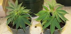 Cannabis Cloning Methods: Let's take a look at some ways to clone cannabis.