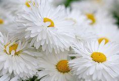 Love happy daisys