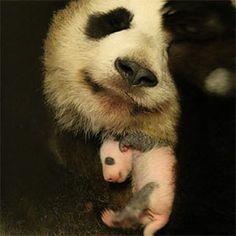 Toronto Zoo Giant Panda Cub, day twenty one, November 2, 2015
