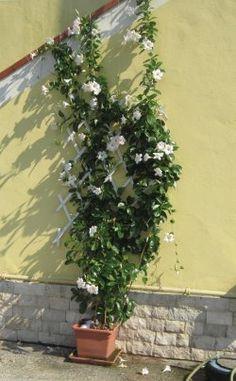 Dipladenia, Mandevilla: Tipps zur Mandevilla im Garten. Überwintern, giessen, düngen, Schnitt und mehr der mediterranen Kübelpflanze.