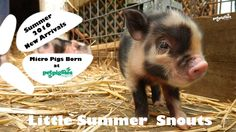 Petpiggies Little Summer Snouts - Micro Pigs Born Summer 2016