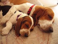 How to introduce new basset hound puppies to your existing dogs. Mixing basset hound with other dog should be done properly without getting them hurt. Basset Puppies, Basset Hound Puppy, Hound Dog, Cute Puppies, Cute Dogs, Beagles, Bassett Hound, Puppy Pictures, My Animal