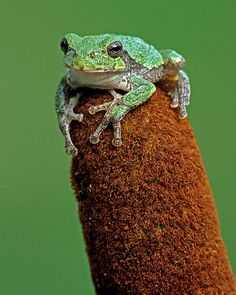 Gray Tree Frog  5x7 Matted Photograph Wildlife by NatureIsArt