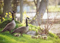 I took this picture about a week ago, a sure sign of spring when the goslings begin to arrive. This is on our front lawn, and most other times of the year, we're not real fond of the geese as they can be fairly messy. Seeing this happen every year makes it worth the mess.Now, while I was over…