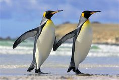 Image : Penguins (© Nature Picture Library/Rex Features)
