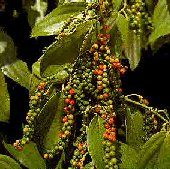 Piper nigrum. Perennial. Plant produces black peppercorns. Peppercorns are dried and used to make black pepper. You can grow this tropical tree in containers and bring them indoor in the fall.