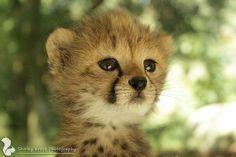 Cheetah by ZOOPhotography Baby Cheetahs, Fox, Cute, Animals, Beautiful, Animales, Animaux, Kawaii, Animal