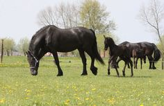 Our 9 years old #Friesian #Starmare with her recently born #marefoal Yvonne fan 'e Ridderdyk! website: http://www.friesiansforsale.eu