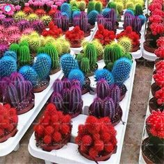 Mixed Rainbow Cactus Seeds Colorful Succulents Bonsai Flower Seeds Perennial Plants for Home Garden Best packaging Succulent Bonsai, Bonsai Plants, Potted Plants, Cactus Seeds, Colorful Succulents, Desert Flowers, Flower Seeds, Garden Supplies, Plants
