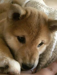 Cute shiba puppy