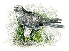 Northern Harrier watercolour bird wildlife art nature