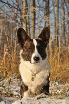 Cute Funny Animals, Cute Baby Animals, Cute Dogs And Puppies, Doggies, Cute Little Baby, Cute Babies, Cardigan Welsh Corgi Puppies, Wales Flag, Pembroke Welsh Corgi