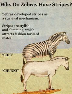Darwin's theory of Slimming Stripes.