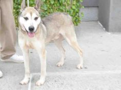 SAFE - 12/28/15 - PLAY DAY - #A1061428 - Urgent Brooklyn - NEUTERED MALE BROWN/WHITE ALASKAN HUSKY/GERM SHEPHERD, 7 Yrs - STRAY - EVALUATE, NO HOLD Intake 12/26/15 Due Out 12/29/15 - VERY GOOD SWEET BOY, CALM AND RELAXED, EASY TO HANDLE