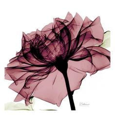Chianti Rose Posters by Albert Koetsier at AllPosters.com Plant Drawing, Drawing Art, Rose Art, Arte Floral, Glass Wall Art, Flower Wall, Watercolor Flowers, Art Prints, Artwork