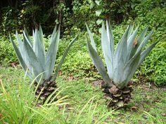 las plantas gemelas