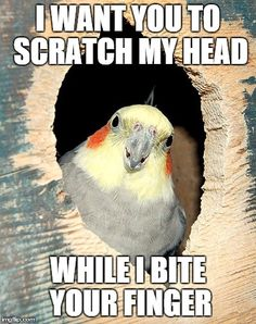 Seriously, my cockatiel used to do that all the time.