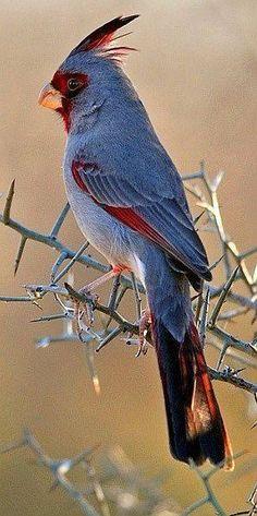 Pyrrhuloxia. Arizona, New Mexico, Texas