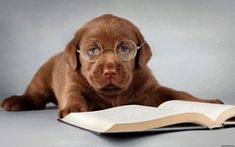 Funny Labrador Puppies Compilation - by Labrador World Labrador Retrievers, Labrador Retriever Chocolate, Brown Labrador, Labrador Puppies, Retriever Puppy, Best Dog Training Books, Training Your Dog, Puppy Care, Dog Care