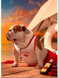 Funny Bulldog Only New Photographs | Funny And Cute Animals