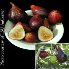 Fig 'LSU Purple' (Ficus carica) The purplest of all figs on the outside with a light strawberry color inside makes this Louisiana introduction well loved by fig connoisseurs. Besides the pleasing flavor of 'LSU Purple,' it also produces an abundance of fruit within the first year when grown in a container; after 5 years, it can produce up to three crops of figs in a single season. 'LSU Purple' has the ability to produce figs on last year's wood and on new growth.