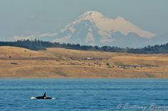Komo Kulshan over San Juan Island. Orca for scale. [3099 X 2061] photo credit: Brittany Bowles