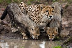 The file photo shows a rare Iranian Asiatic female cheetah and her cubs which are in danger of extinction.