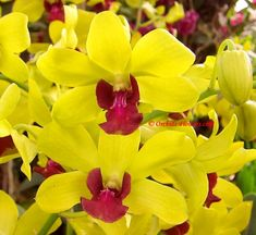 Dendrobium Thongchai GoldFlowering period: Spring – Summer, with perfect conditions all around the year. Dendrobium Thongchai Gold requires a warm to hot, humid climate, full sun or bright light and should be fertilized regularly.