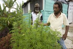 """Jamaican farmers offer illegal """"pothead paradise"""" cannabis tours to tourists  Pot tourists can sample purple kush and pineapple skunk on the tours that pass through places such as Nine Mile, the former hometown of reggae star Bob Marley, and the western resort town of Negril.  #420"""